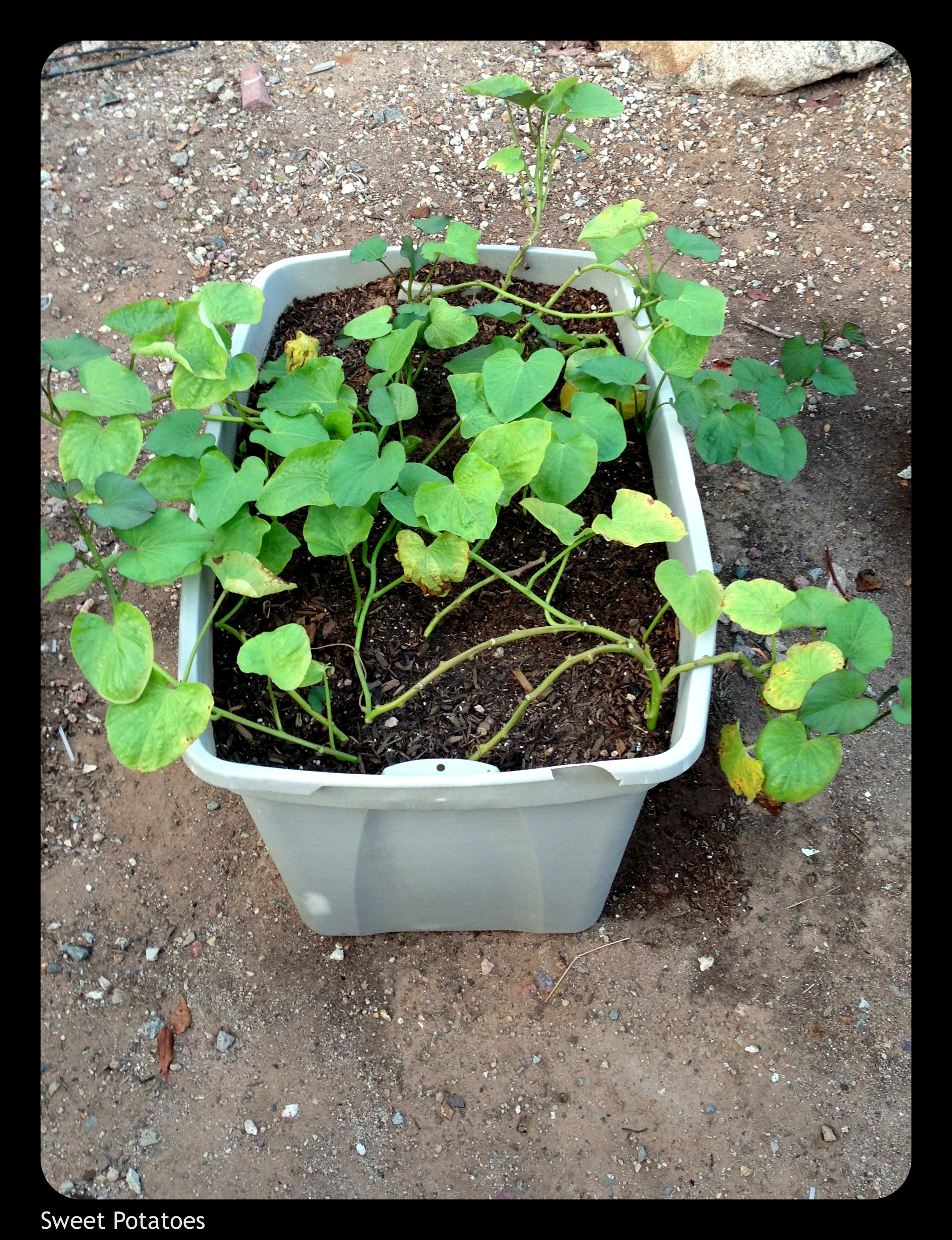 Growing Sweet Potatoes In Containers Dane County Sweet Potato Project