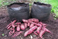http://blog.gardeners.com/2010/10/sweet-potato-harvest/