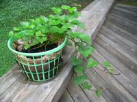 Sp Laundry Basket Dane County Sweet Potato Project